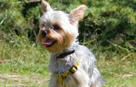 Small Haired Non Shedding Dogs by Best Small Non Shedding Dogs For