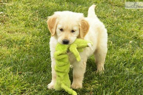 colored golden retriever puppies meet maggie a golden retriever puppy for sale for 800 beautiful colored