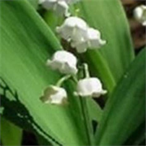 il mughetto fiore mughetto linguaggio dei fiori mughetto linguaggio