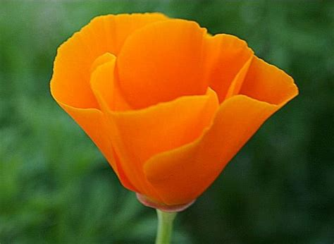 california state flower poppy tattoo ideas pinterest