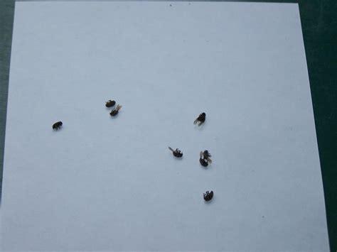 kleine fliegen im garten kleine schwarze fliegende k 228 fer hausgarten net