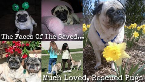save a pug operation pug rescue we re raising 500 to save max the pug and hopefully more