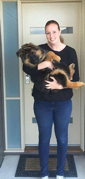 normal puppy rate adorable german shepherd puppy has growth spurt you to see to believe a