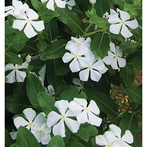 bibit bunga vinca white