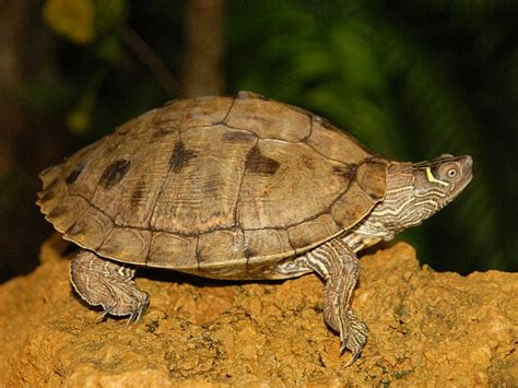 mississippi map turtles for sale from the turtle source