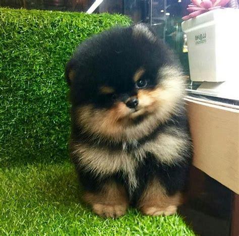baby black pomeranian best 25 pomeranians ideas on pomeranian puppy pomeranian and baby pomeranian