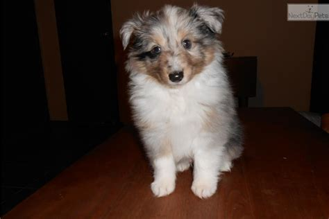 sheepdog puppies ohio sheltie breeders in ohio breeds picture