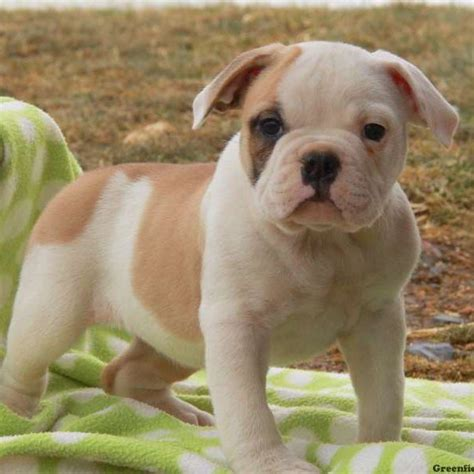 bulldog puppies for sale in pa frenchie engam bulldog puppy for sale in pennsylvania