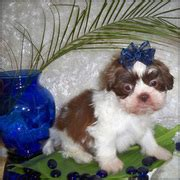 shih tzu puppies sydney dogs for sale puppies for sale sydney ads sydney dogs for sale puppies for sale