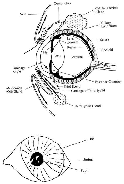 golden retriever pigmentary uveitis treatment eye diseases animal eye care