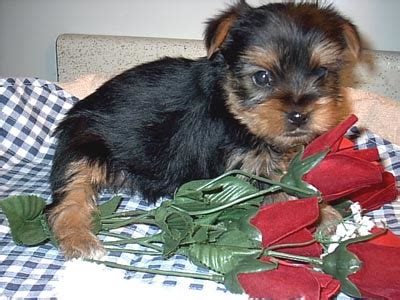 yorkie puppies for sale in ky yorkie puppies for sale in paducah kentucky picture breeds picture