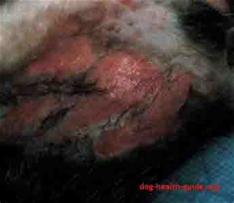 worms in dogs skin pics for gt parasites in dogs skin