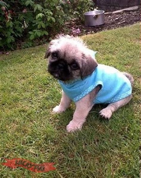 pug shitzu cross shih tzu mix with pug breeds picture