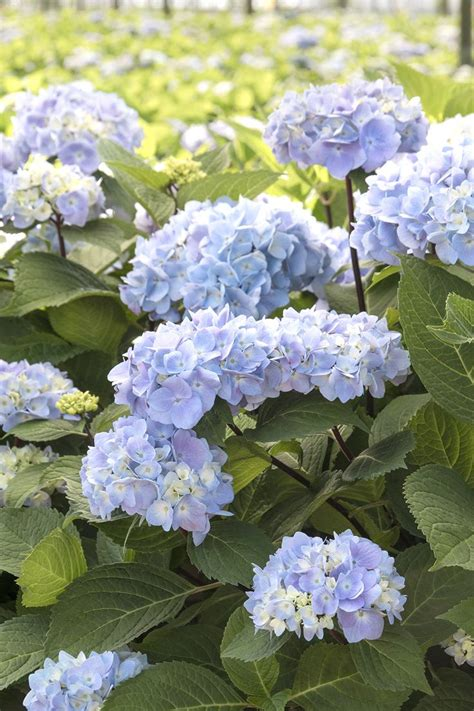 796 best images about hydrangea flowering shrub on pinterest hydrangea flower shrubs and pink