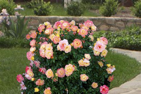 botanical flower carnation italian 11 easy 174 italian p p rosa hybrid zone 8 hardiness zone