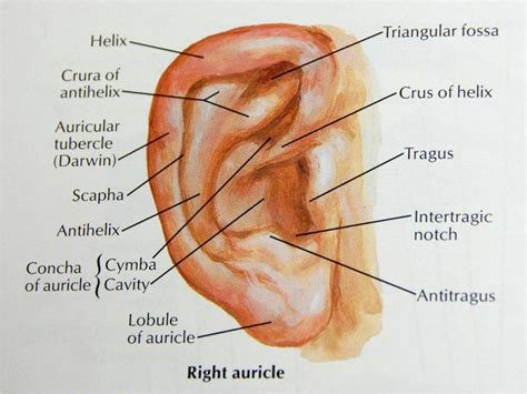 external ear anatomy diagram wiring diagrams wiring