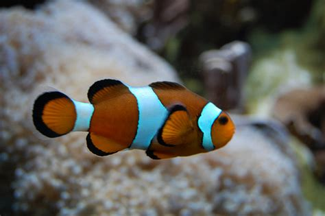 Anemone (Clown) Fish | Flickr - Photo Sharing!