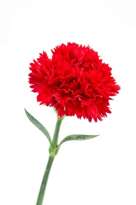carnation clipart dianthus caryophyllus pencil and in