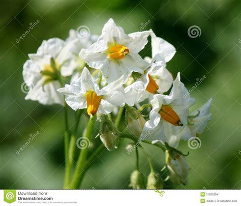 cespuglio con fiori bianchi cespuglio della patata fiorisce con i fiori bianchi