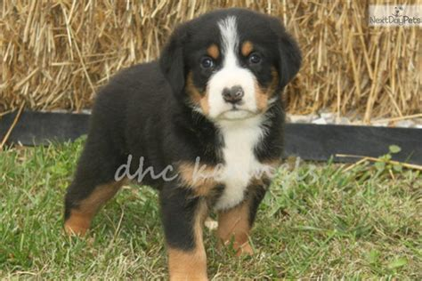 swiss mountain puppies for sale greater swiss mountain puppies for sale breeds picture