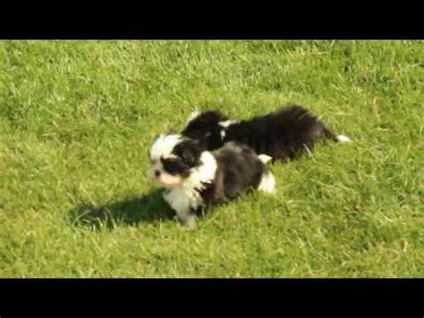 havanese vs shih tzu shih tzu puppy funnydog tv