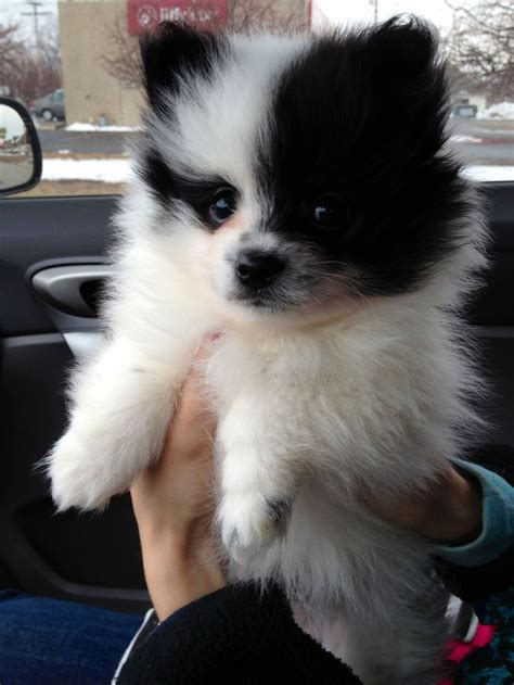 everything about pomeranians 462 best images about everything pomeranian on wolves pomeranian dogs