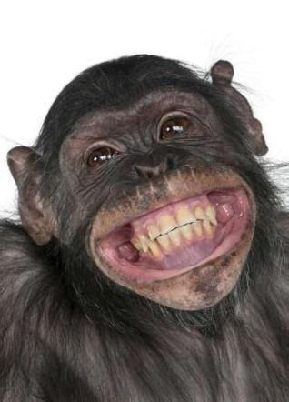 Big Comfy Monkey See Monkey Do by Scimmietta Simpatica Marica La Mangiante Laka Alta 1e 40