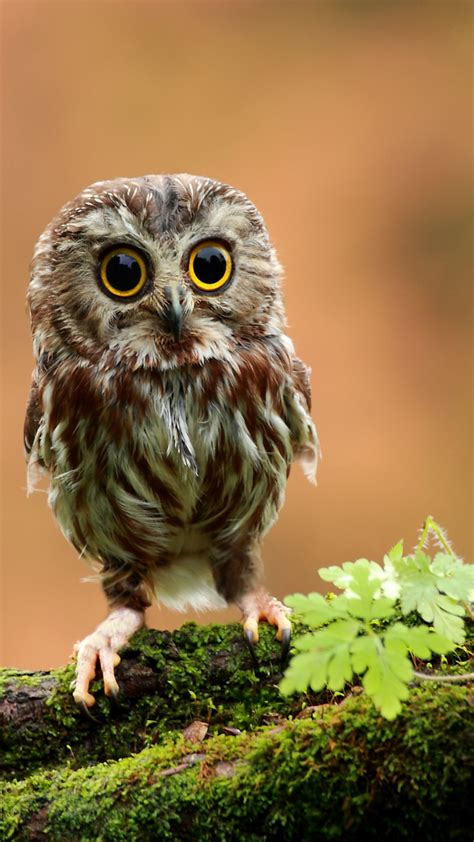 wallpaper owl chicken forest eyes animals