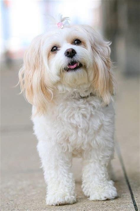 cavachon puppy cut cavachon hair cuts my trip to the groomer grooming your
