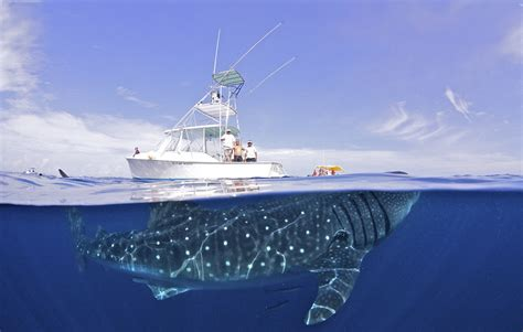 how long is the biggest boat in the world breathtaking images show the beauty of giant whale sharks
