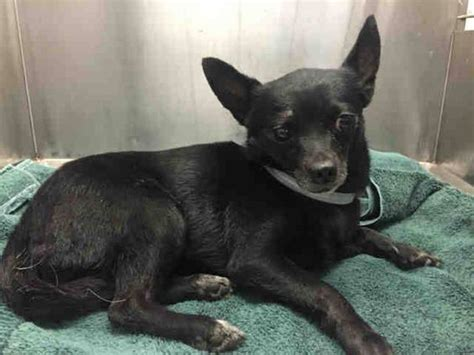 downey pound at downey animal shelter fractured pelvis urgent 4 year chi needs