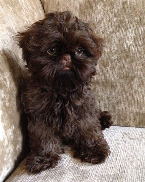 chocolate shih tzu for sale sold solid chocolate imperial shih tzu puppy bradford west pets4homes