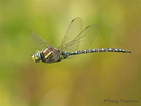 vancouver island dragonflies 2012 season terry thormin
