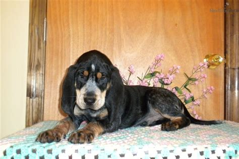 bluetick coonhound puppies for sale bluetick coonhound puppy for sale near augusta a258b485 6d71