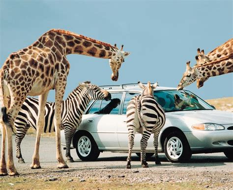 african safari car african lion safari toronto canada places i have been