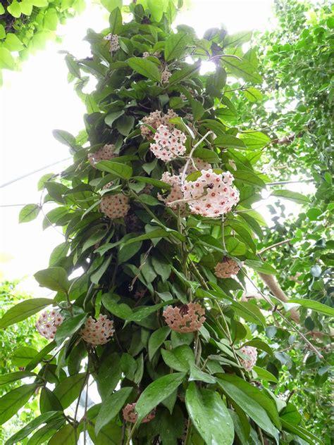 gardens chronicle hoya carnosa  beautiful tropical vine