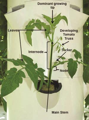 prune  plants  bigger yields badil tomatoes