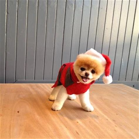 boo the dog christmas best 28 boo boo popsugar pets boo the worlds cutest flora waardahl buy boo