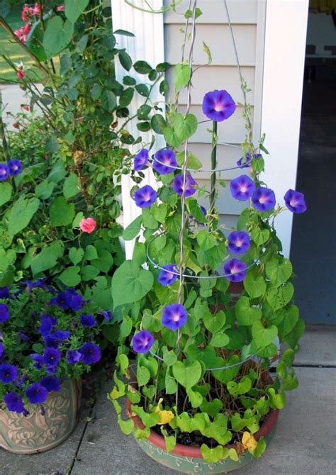 Best Blue Flowers To Grow In Containers Balcony Garden Web Blue Garden Flower