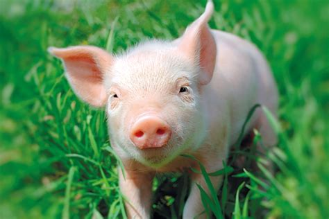 alimentazione animale la so le est farine di legno per alimentazione animale