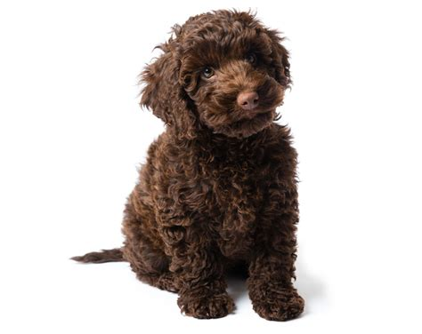 mini labradoodles carolina labradoodle puppies nc mini labradoodle carolina