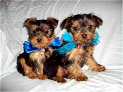 teacup yorkie for free adoption free and teacup yorkie puppies for free adoption
