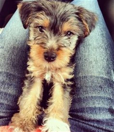 schnauzer havanese mix cairn terrier and maltese mix puppies search fur babies