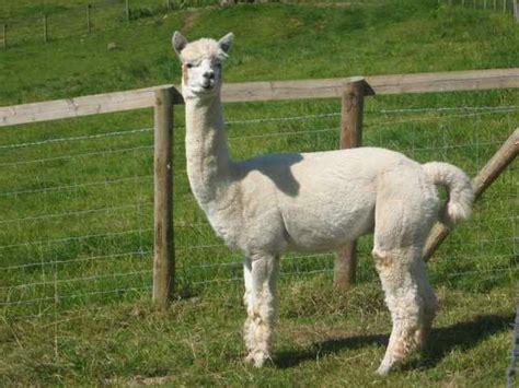 Imagenes De Animales Llamas | llamas 10 jpg