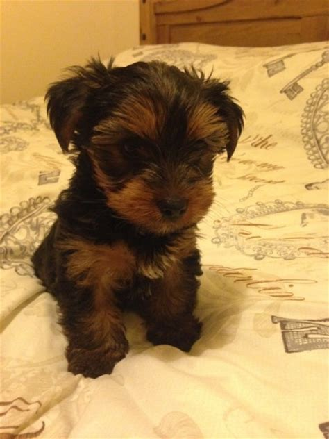 teacup yorkie for sale 300 dollars teacup yorkies for 300 dollars for sale united states pets 5