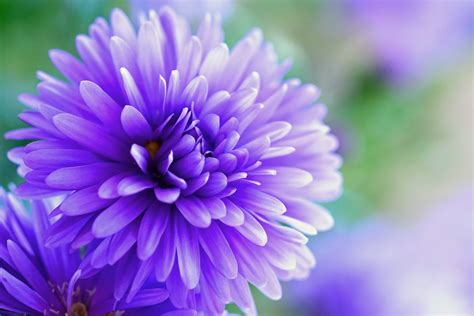 Chrisant Flower 無料画像 自然 工場 写真 紫の 花弁 咲く 閉じる フローラ ワイルドフラワー バイオレット