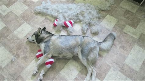 How Much Do Huskies Shed by Deshedding Husky Time Lapse Kitana How Much Fur