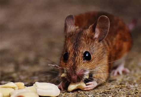 imagenes de ratones kawaii el rat 243 n caracter 237 sticas reproducci 243 n alimentaci 243 n