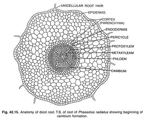 diagram of a dicot stem image gallery dicot root