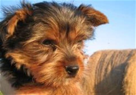 do yorkies change color teacup yorkies for sale yorkie puppies atlanta tallahassee